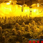 Marihuana (4)
